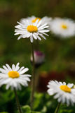 White daisies in a green meadow Stock Images
