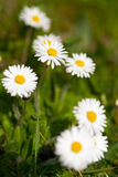 White daisies in a green meadow Stock Photography