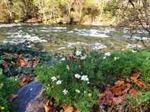 WHITE DAISIES AND GREENERY ALONG THE RIVERSIDE Stock Photos