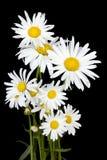 White daisies for Halloween Stock Photos