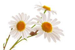 White Daisies. Stock Photography