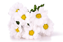 White daisies isolated Stock Images
