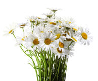 White daisies isolated on white Stock Images