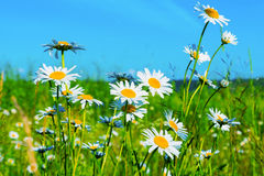 White daisies lawn on blue sky background Stock Image