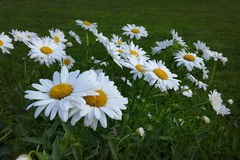 White daisies. In light of dusk Royalty Free Stock Photography