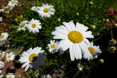 White Daisies in a Sunny, Summer Garden. White daisies lighten and brighten gardens and wild natural areas. They also highlight the sunshine stock images