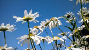 White daisies and blue sky stock image