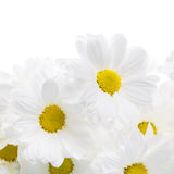 White daisies. Many white daisies with bright yellow center stock photography