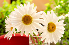 White daisy. Marguerities inside a glass on a spring day wallpaper Stock Images