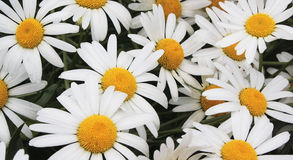 White daisies on a meadow. In summer day Stock Photo