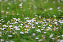 White daisies meadow background Stock Images