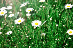 White daisies on  meadow. White daisies on green meadow Royalty Free Stock Images