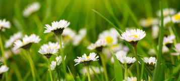 White daisies meadow. Royalty Free Stock Images
