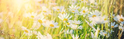 White daisies in a meadow in the light of the setting sun. Beautiful panoramic summer background royalty free stock image