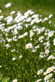 White daisies in meadow Royalty Free Stock Images
