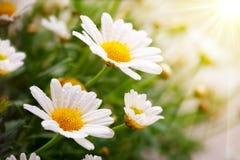 White daisies meadow. Stock Image