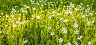 White daisies  meadow Royalty Free Stock Photo