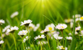 White daisies meadow  and sunshine. Royalty Free Stock Photography