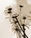 White daisies in monochrome color Royalty Free Stock Photo