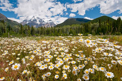 White daisies and Mount Robson Stock Photo