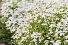 White  daisies outdoor Stock Photo