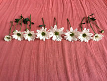 White daisies on a salmon colored blanket Stock Photography