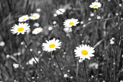 White daisies - selective desaturation. White daisies on meadow ,selective desaturation Stock Image