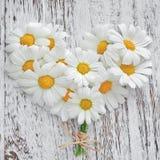 White daisies. Royalty Free Stock Photos