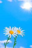 Two daisies on sky background Royalty Free Stock Photos