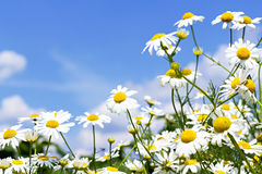 White daisies in the sky Stock Images