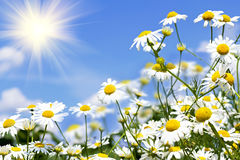 White daisies in the sky Royalty Free Stock Photos