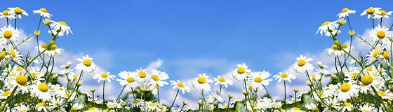 White daisies in the sky royalty free stock photo
