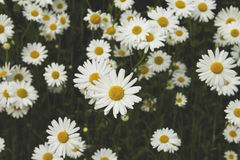 White daisies in spring Royalty Free Stock Photography