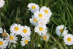 White daisies in spring. Some white daisies in spring Stock Photos