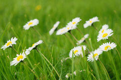 White daisies on summer day Stock Image