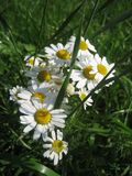 White daisies on the summer field stock photography