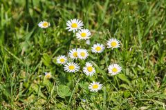 White daisies on the summer field near Vienna Austria royalty free stock photography