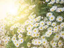 White daisies in summer filed Royalty Free Stock Photos