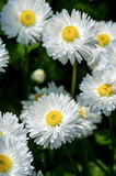 White daisies. On a summer flower bed in the garden Stock Photos