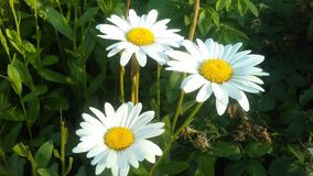White Daisies in summer stock photography