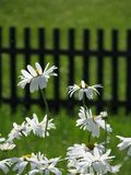 White daisies in summer royalty free stock images