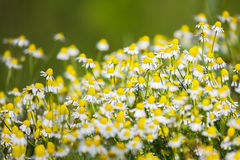 White daisies on a sunny day. White daisies on the field, on a sunny day Royalty Free Stock Photos