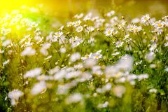 White daisies swaying stock images