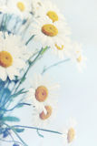 White daisies , tinted Royalty Free Stock Photography
