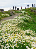 White daisies  in Vatnsnes peninsula, Iceland Stock Photo