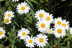 White daisies. Vibrant white daisies with bright yellow corolla against a lush green grass background Royalty Free Stock Images