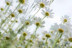 White daisies. Stock Image