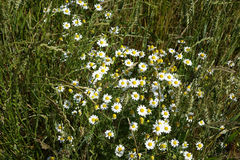 White Daisies & Wheat - Idaho. Wild white daisies growing intermixed with wheat on a summer day in Idaho Stock Images