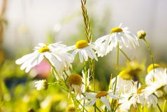 White daisies. Wild flowers in a Sunny day in the garden. Blossom in autumn Stock Image