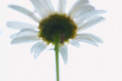 White daisy. On white background. Closeup view Stock Photography
